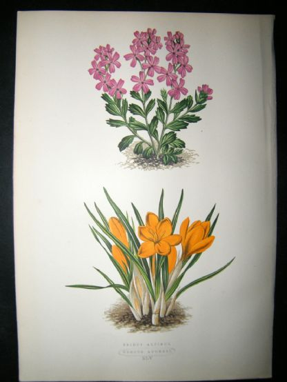 Wooster 1874 Antique Botanical Print. Crocus Aucheri | Albion Prints